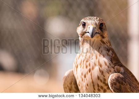 Saker falcon. Falco cherrug. Falcon close up in Arab