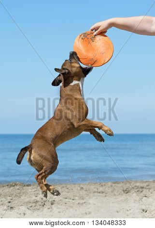 staffordshire bull terrier jumping for catching the toy