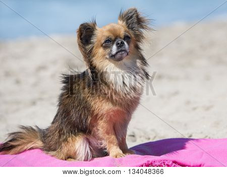 chihuahua standing on the beach on a towel