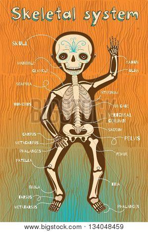 Human skeletal system for kids. Vector color cartoon illustration. Human skeleton scheme.