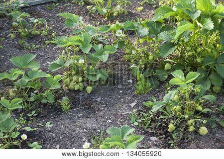 Strawberry plants growing in garden / allotment / strawberry patch, a bounty of fruit, some still in flower.