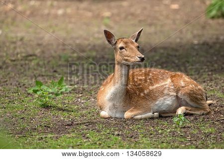 Fallow deer resting in the forest in the wild