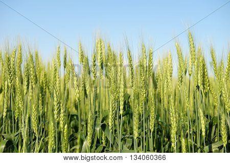 Green rye ears on field under blue sky