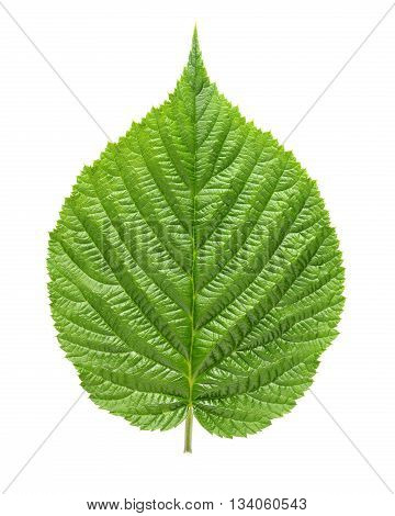 Green raspberry leaf isolated on white background