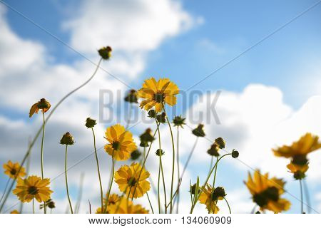 Coreopsis pubescens flowers on blue sky background