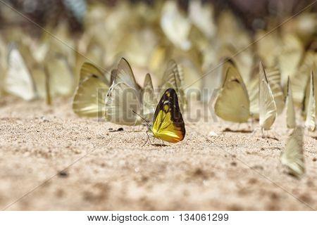 Butterfly eating Salt licks on ground at Pangsida national park Sakaeo,Thailand
