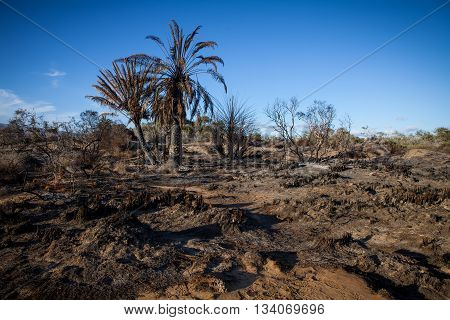 burn trees and palms after a fire in blue sky background