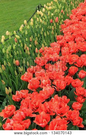 Pretty image of colorful tulips,a favorite flower in anyone's garden.