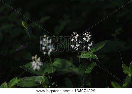 Maianthemum Bifolium