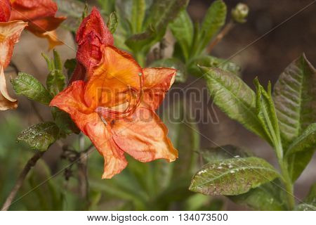 a beautiful orange azalea in full bloom