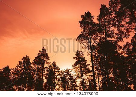 Dark Silhouettes Of Trunks And Crowns Of Trees On A Background Of Bright Red Sunset Sky. Forest Woods At Dusk, Sunrise