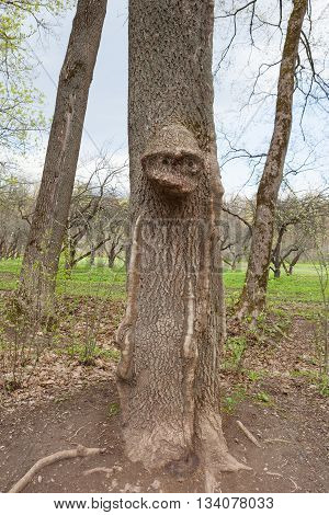 Extraordinary shape of tree, head of wood-goblin