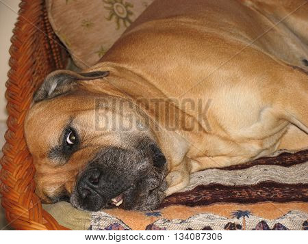 Red dog bullmastiff looking at camera lying on couch