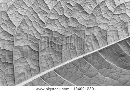 texture of a surface of a leaf of a plant with streaks closeup for a abstract natural natural background or for wallpaper of gray color