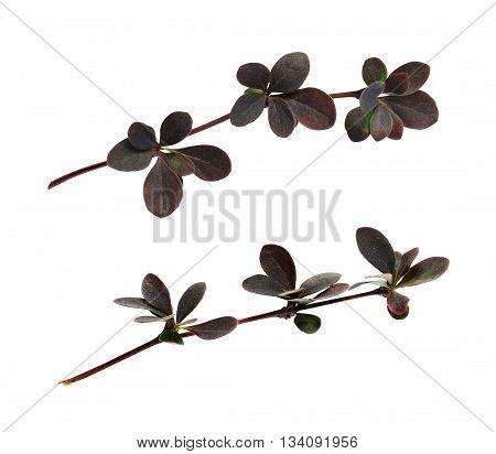 Small twigs with red leaves of berberis thunbergii isolated on white