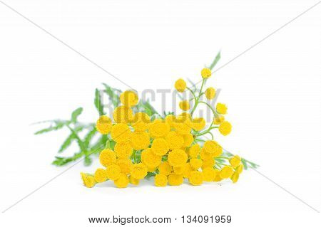Summer Yellow Flowers Tansy Isolated on White Background