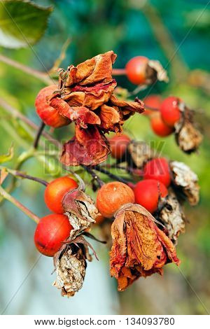 Withered Wild Rose