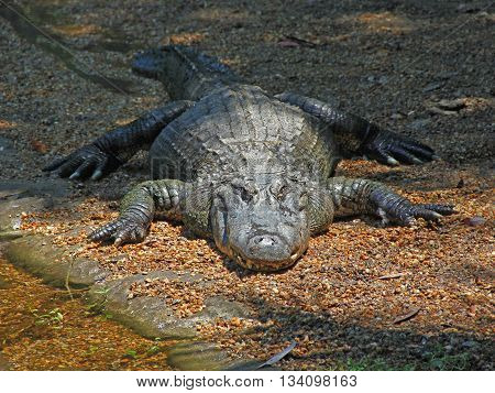 Florida Alligator Sunning Itself on the Shore