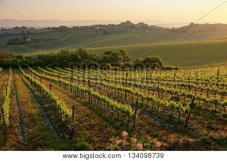 Tuscan vineyard at sunrise, first rays of golden light