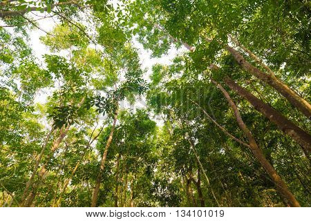 Background Of Rubber Tree Farm At Thailand
