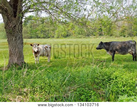 Cows in a field in the county of Somerset, England.