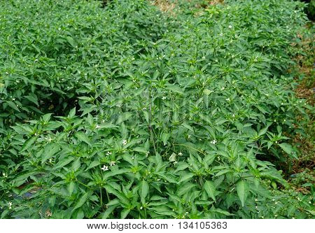 bird eye chili plant at reproductive stage show flower and green small fruits