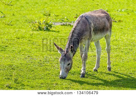 Young grey colored donkey grazing in the bright green grass on a sunny day in the summer season.