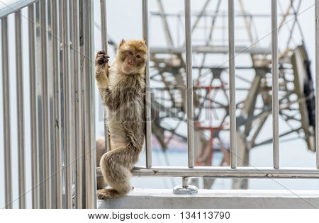 A barbary macaque by the chair lift in Gibraltar