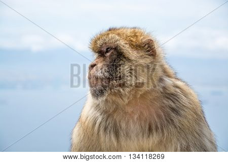 Closeup portrait of a barbary macaque by the sea