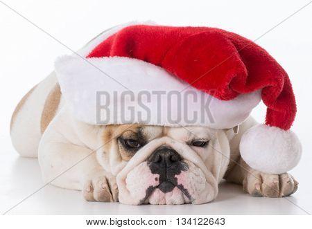 english bulldog wearing santa hat isolated on white