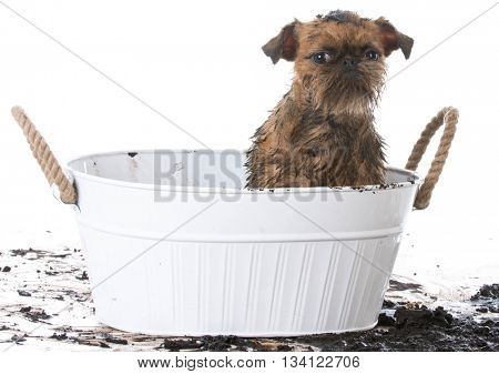 dirty muddy brussels griffon in wash basin ready for a bath