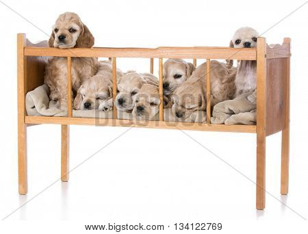 litter of seven american cocker spaniel puppies in a cradle