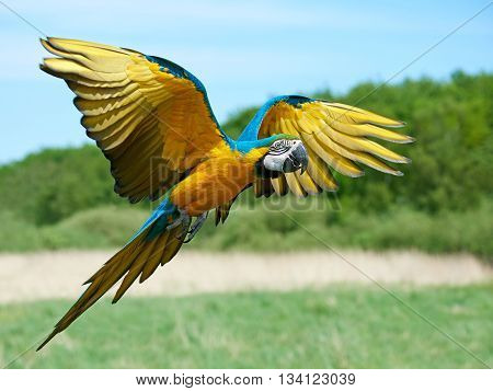 Blue and yellow Macaw (Ara ararauna) in flight with vegetation in the background