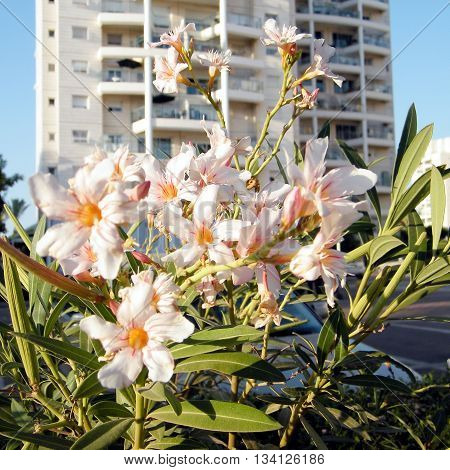 White Nerium Oleander in Or Yehuda Israel