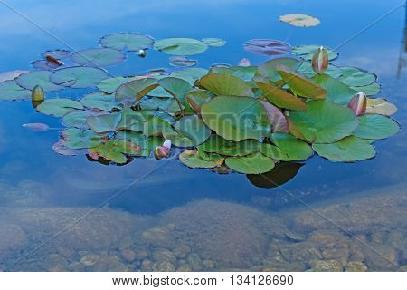 A water lily in a pond in nature