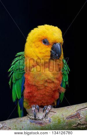Jandaya parakeet (Aratinga jandaya) resting on a branch isolated on a dark background