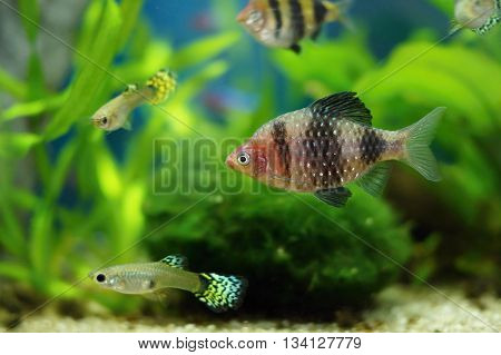 black ruby barb or purplehead barb (Pethia nigrofasciata) in aquarium