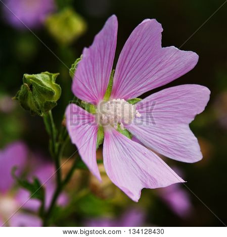 Pink mallow flower in the field blooming