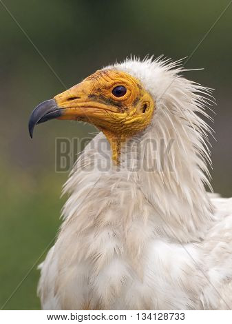 Closeup portrait of the Egyptian vulture (Neophron percnopterus) with vegetation in the background