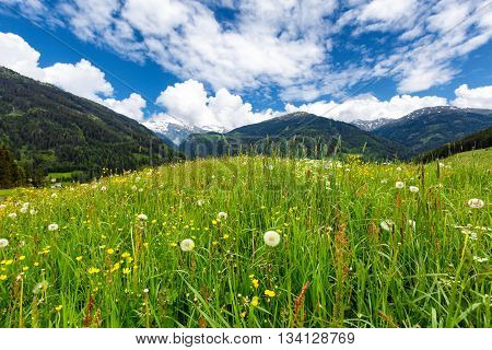 Green alpine meadow with flowers at spring
