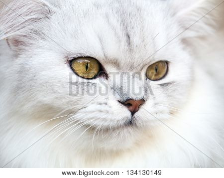 Persian White Cat