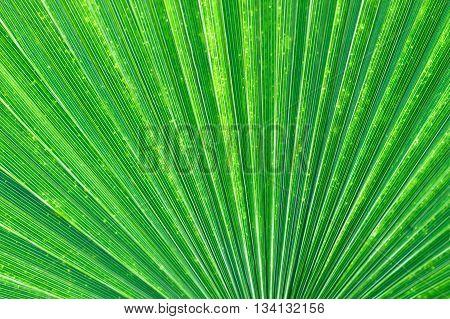 Light shining through the fan pattern of a palm leaf.