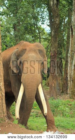 Indian elephant with large tusks wandering in forest
