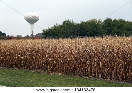 Corn in a cornfield, prior to harvest during October, in Plainfield, Illinois.
