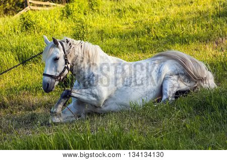 Beautiful white horse lying in chains on green grass