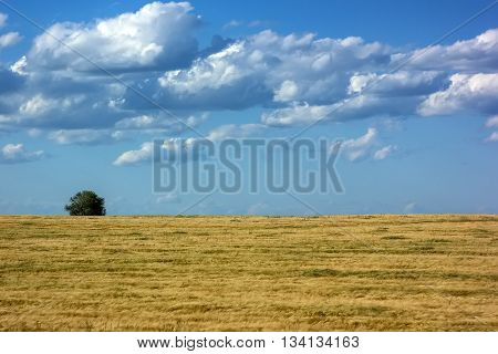 Lonely tree standing on a yellow field blue sky puffy clouds