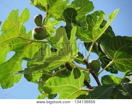 Figs on tree branches against the blue sky in a sunny day in Tuscany Italy