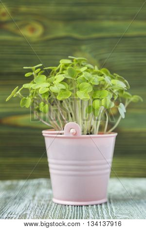 Young plant of mustard seedling in toy pink pail pot on wooden background
