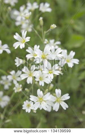 White flower Stellaria holostea on meadow. Wild small flowers soft focus. Stitchwort perennial flowers photo