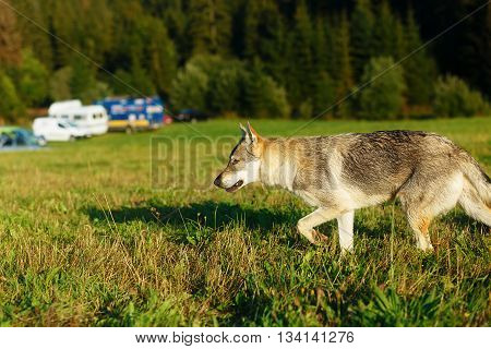 Wolf approaching a caravan camping place in wildniss